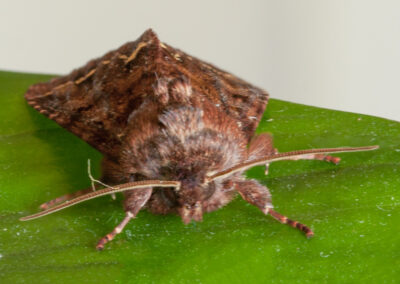 Broom Moth (Melanchra pisi)