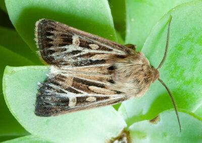 Antler Moth (Cerapteryx graminis)