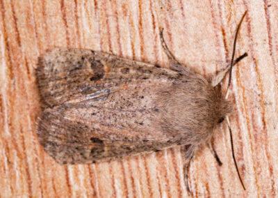 Small Quaker (Orthosia cruda) moth