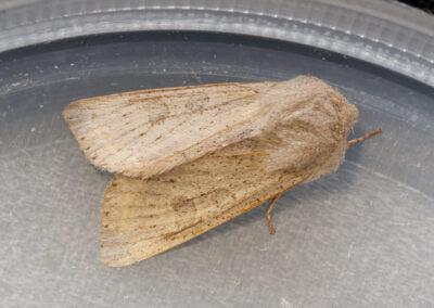 Powdered Quaker (Orthosia gracilis)
