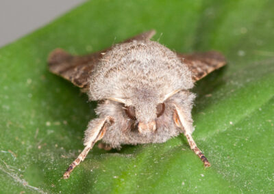 Common Quaker (Orthosia cerasi) moth