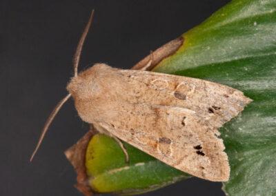 Twin-spotted Quaker (Orthosia munda) moth