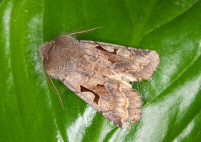 Hebrew Character (Orthosia gothica) moth