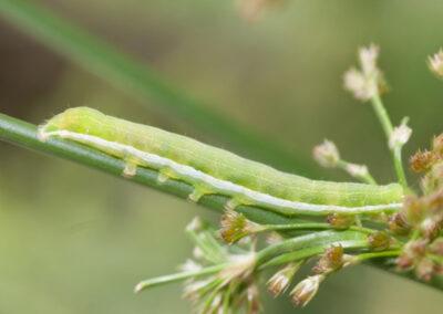 Hebrew Character (Orthosia gothica) larva