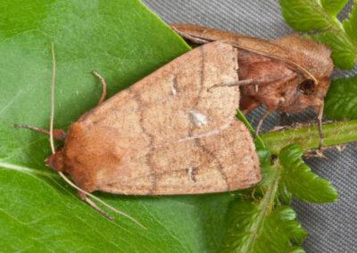 Double Line (Mythimna turca) moth