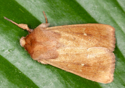 Clay (Mythimna ferrago) moth