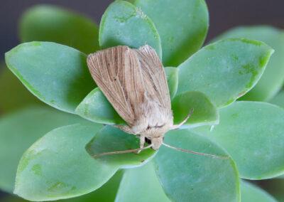 Smoky Wainscot (Mythimna impura) moth