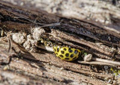 22-spot Ladybird (Psyllobora vigintiduopunctata)