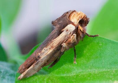 Red Sword Grass (Xylena vetusta) moth