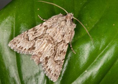Early Grey (Xylocampa areola) moth