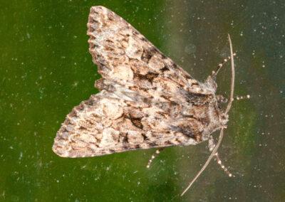 Glaucous Shears (Papestra biren) moth