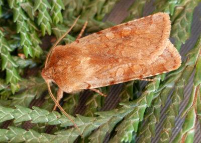 Chestnut (Conistra vaccinii) moth