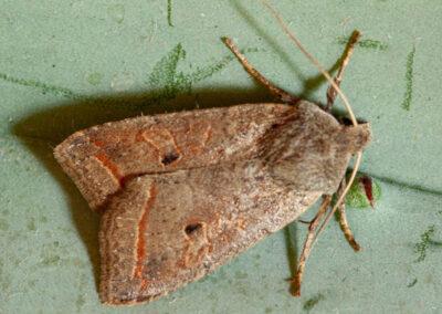 Red-line Quaker (Agrochola lota) moth