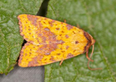 Pink-barred Sallow (Xanthia togata) moth