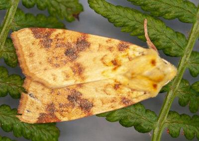 Sallow (Cirrhia icteritia) moth