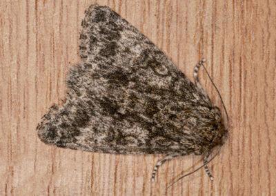 Poplar Grey (Acronicta megacephala) moth
