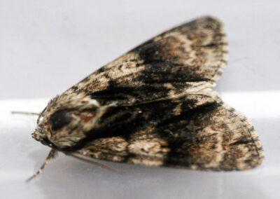 Alder Moth (Acronicta alni) moth
