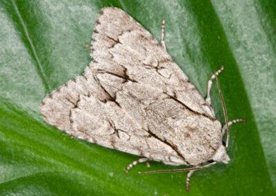 2284 Dark Grey Dagger agg. (Acronicta agg.) moth