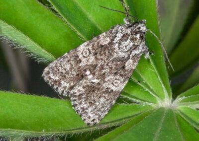 Knot Grass (Acronicta rumicis) moth