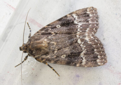 Copper Underwing (Amphipyra pyramidea) moth