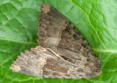 Old Lady (Mormo maura) moth