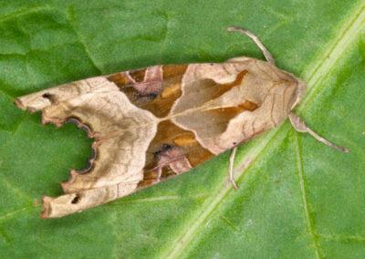 Angle Shades (Phlogophora meticulosa) moth