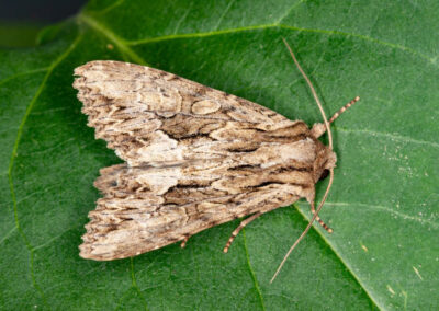 Dark Arches (Apamea monoglypha) moth