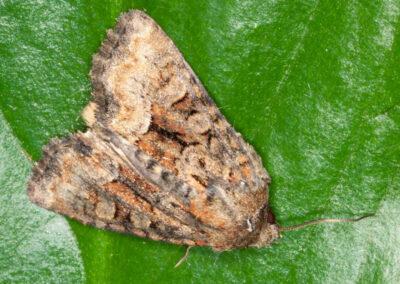 Marbled Minor agg. (Oligia agg.) moth