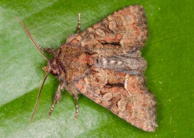 Marbled Minor agg. (Oligia sp.) moth