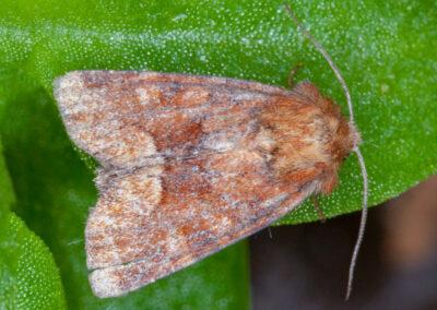 Middle-barred Minor (Oligia fasciuncula) moth