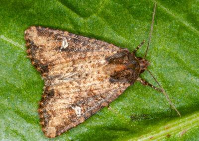Common Rustic agg. (Mesapamea agg.) moth