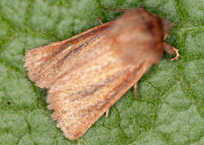 Small Wainscot (Chortodes pygmina) moth