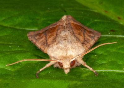 Rosy Rustic (Hydraecia micacea)