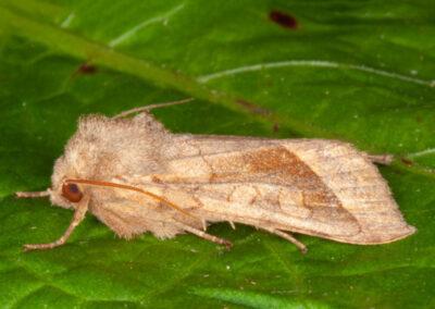 Rosy Rustic (Hydraecia micacea) moth