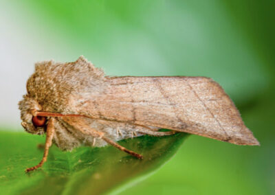 Treble Lines (Charanyca trigrammica) moth