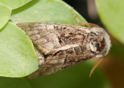 Nut-tree Tussock (Colocasia coryli) moth