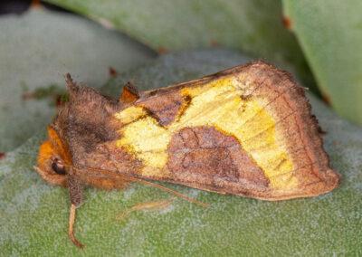 Burnished Brass (Diachrysia chrysitis) moth