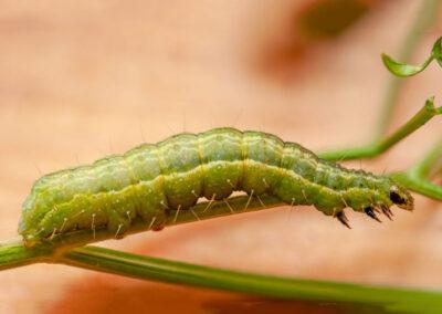 Silver Y (Autographa gamma) larva