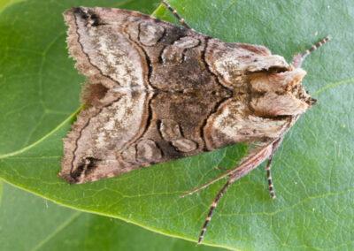 Spectacle (Abrostola tripartita) moth