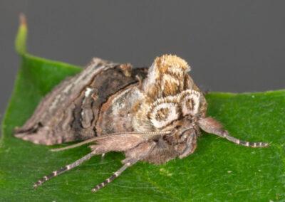 Spectacle (Abrostola tripartita)