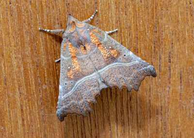 Herald (Scoliopteryx libatrix) moth