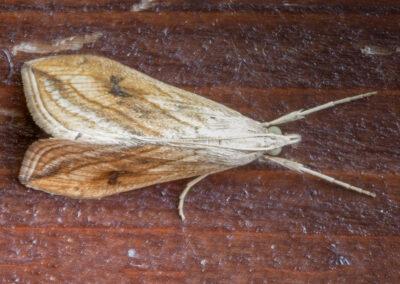 Garden Pebble (Evergestis forficalis) moth