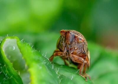 Alder Spittlebug (Aphrophora alni)