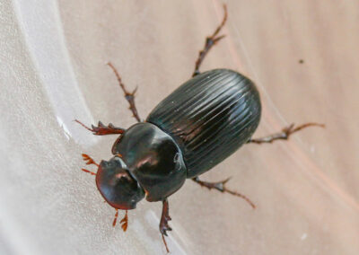 Aphodius rufipes, a night-flying dung beetle