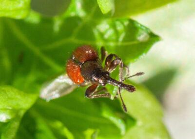 Apple Fruit Weevil (Neocoenorrhinus aequatus)