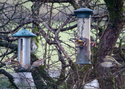 House Sparrows, Goldfinches, Siskin.