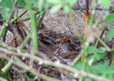 Blackbird (Turdus merula) ♀ on nest in Glandernol garden