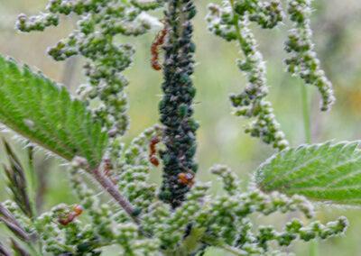 'Blackfly' on a nettle.