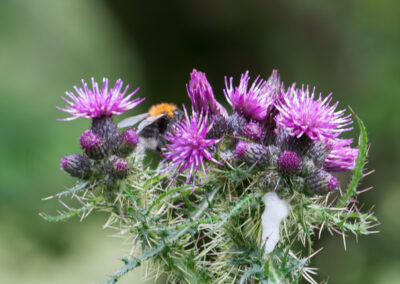 Bombus hypnorum on Marsh Thistle. First observed in the UK in 2000, and does not yet have an English name.