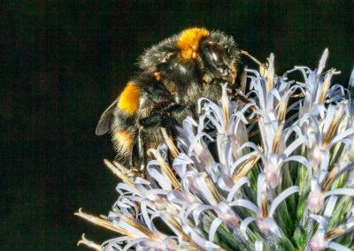Buff-tailed Bumble Bee (Bombus terrestris) on Echinops
